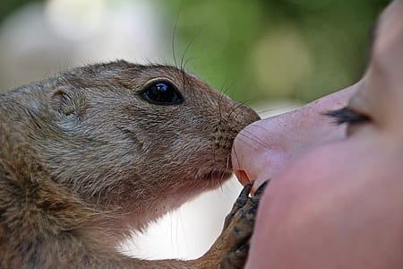 brown squirrel kissing person