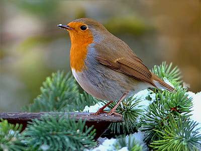 selective focus photography of Eurasian robin