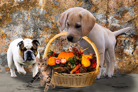 English bulldog standing near yellow Labrador retriever puppy carrying basket with vegetables and tabby kitten