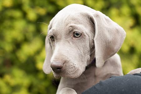 gray Weimaraner puppy