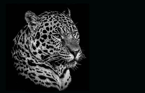 greyscale photo of leopard head with black background