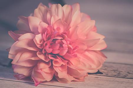 shallow focus photography pink dahlia flower