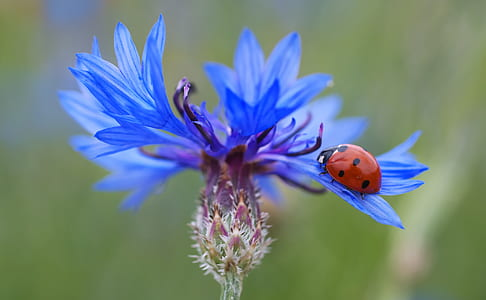 selective focus photo of a ladybug on blue flower