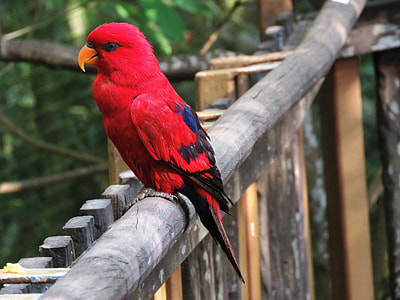 female eclectus parrot perched on wooden fence