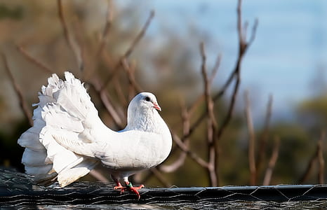 shallow focus photography of white fan tail pigeon