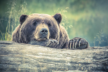 Tired Large Bear Forest Log