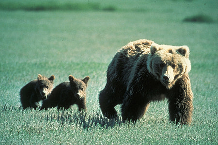 photo of brown bear near grass field
