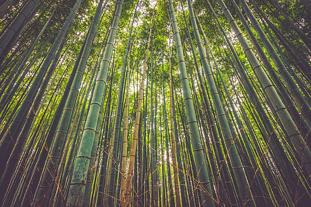 low angle of green bamboo forest