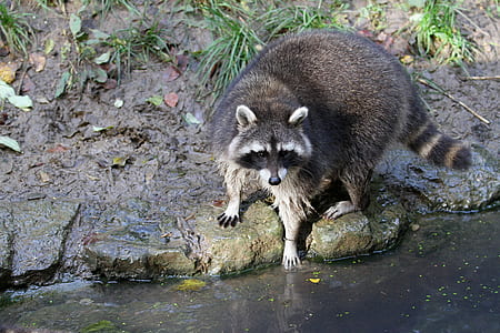 brown racoon near boy of water