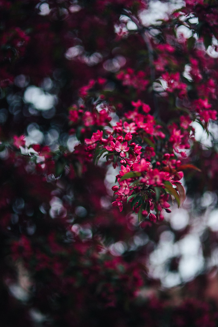 Royalty Free Photo Lovely Pink Flowers Blooming From The Tree