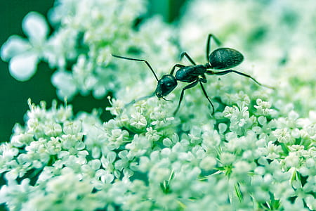 selective focus photo of carpenter ant on white flowers