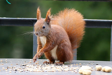 brown squirrel standing near nuts at daytime