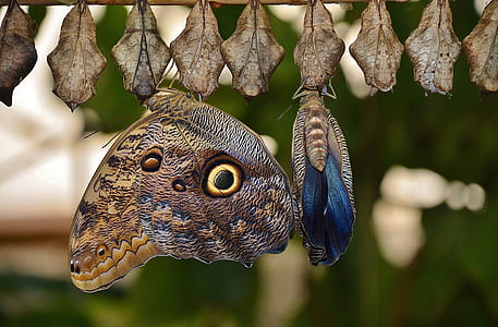 brown and black owl butterfly perched on cocoon at daytime