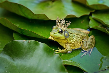 green frog on waterlily