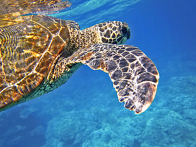 selective focus photography of turtle swimming under the sea