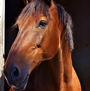 closeup photo of a brown horse