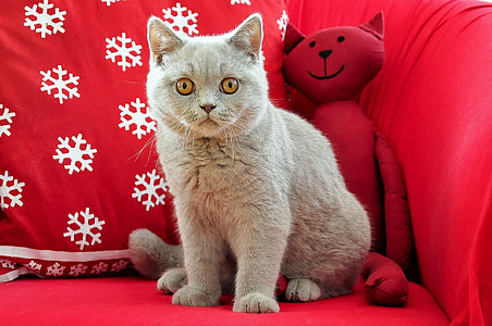 short-fur gray cat on red sofa