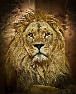portrait photography of lion