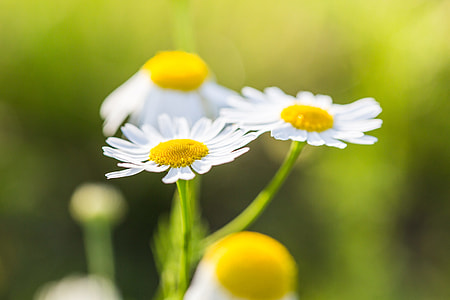 Wonderful Daisies with Bright Background