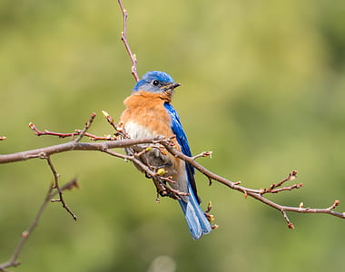 photo of white, brown, and blue short-beak bird perching on tree twig