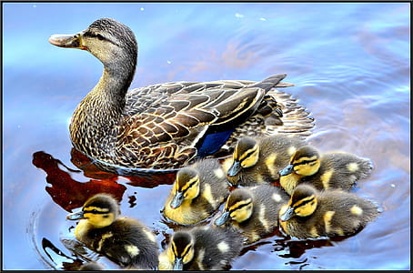 duck with ducklings on water