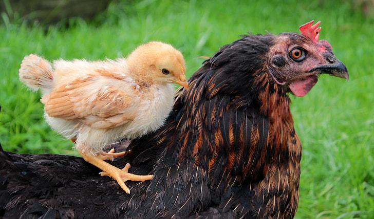 brown chick on black chicken