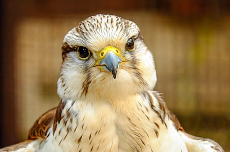 closeup photography of white and brown eagle