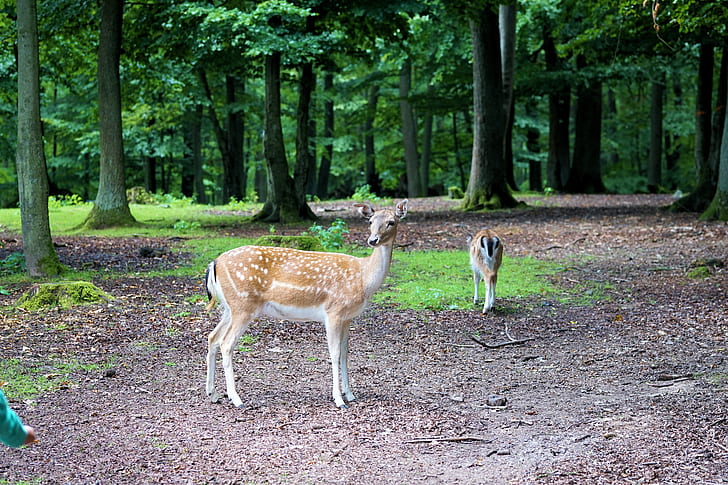 two beige doe inside forest