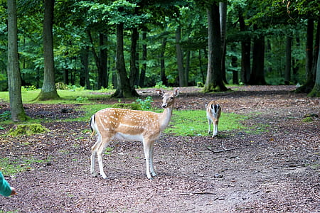 two beige doe inside forest
