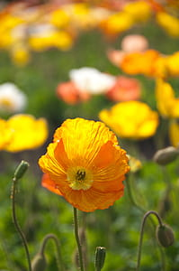 selective focus photography of California poppy flowers