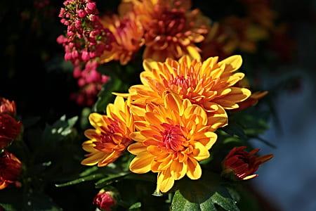 closed up photo of Chrysanthemum flower