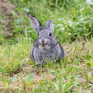 grey rabbit on green grass