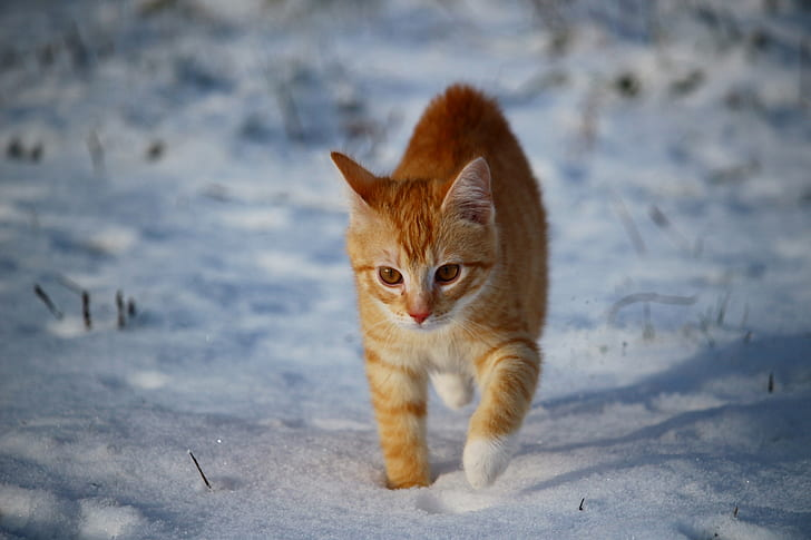 brown Tabby cat walking on snow