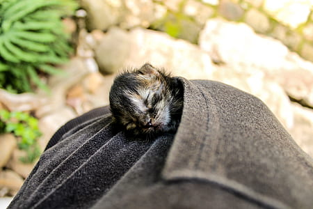 tortoiseshell kitten on gray pocket