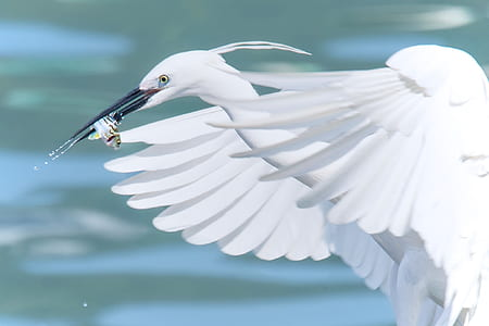 white heron catching fish