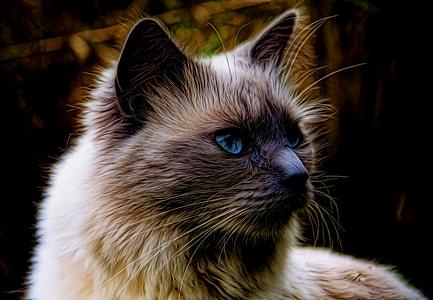 long-fur beige and grey cat