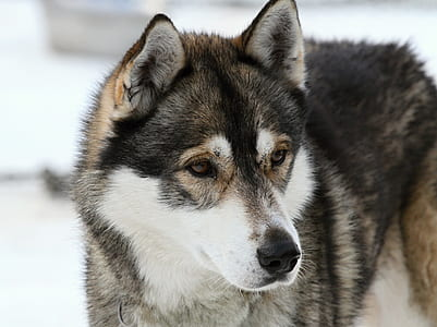 adult's black and brown Siberian husky dog