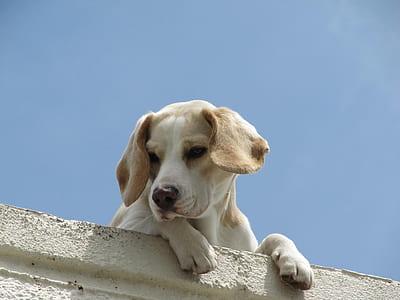 medium short-coated white and fawn dog