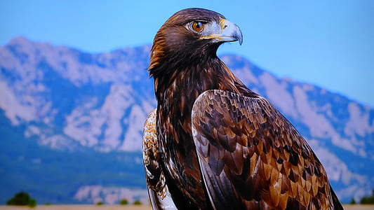 close-up photography of brown eagle