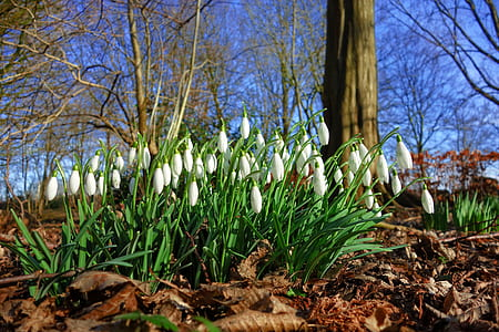 white snowdrop flowers at daytime