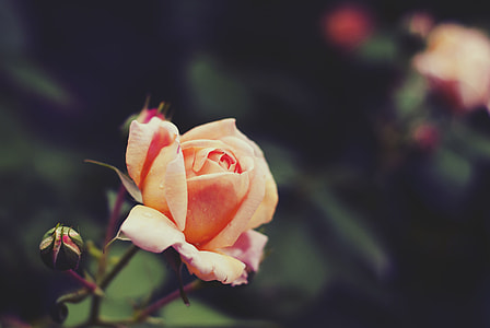 selective focus photography of peach rose flower