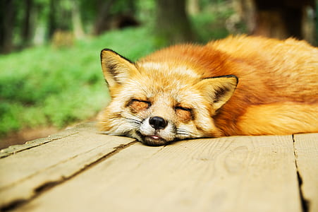 orange fox lying on brown wooden table