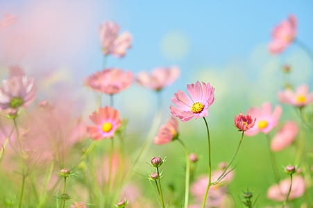 pink cosmos flowers in bloom at daytime