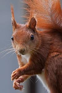 brown squirrel closeup photo