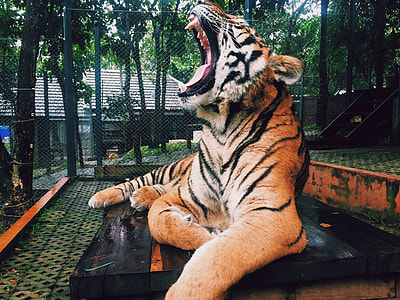 brown Tiger on black wooden table
