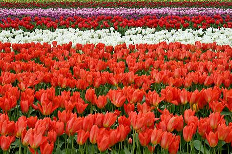 red tulip field
