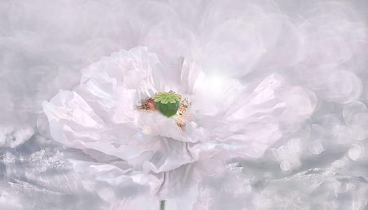 white poppy painting