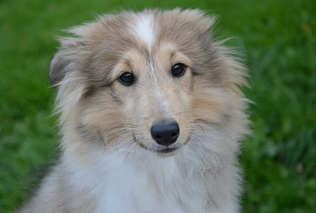 white and fawn rough collie