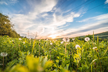Dandelions/Blowballs in a Field at Sunset