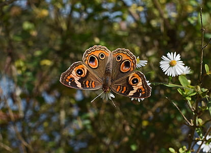common buckeye butterfly selective focus photography